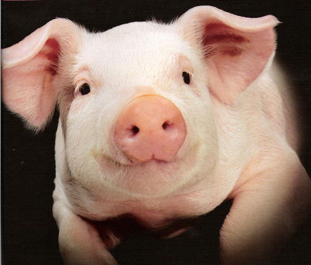 Porc Wikipédia